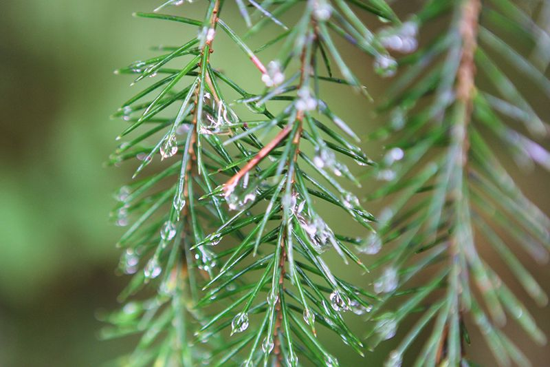 Ronda Palazzari Pine 2