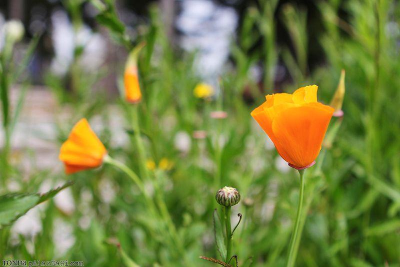 Ronda Palazzari Orange Wildflowers