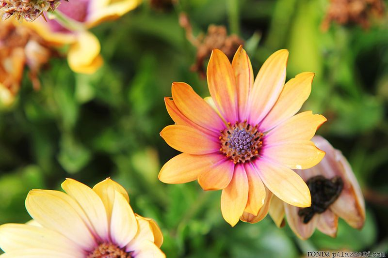 Ronda Palazzari Orange Daisy Wildflowers