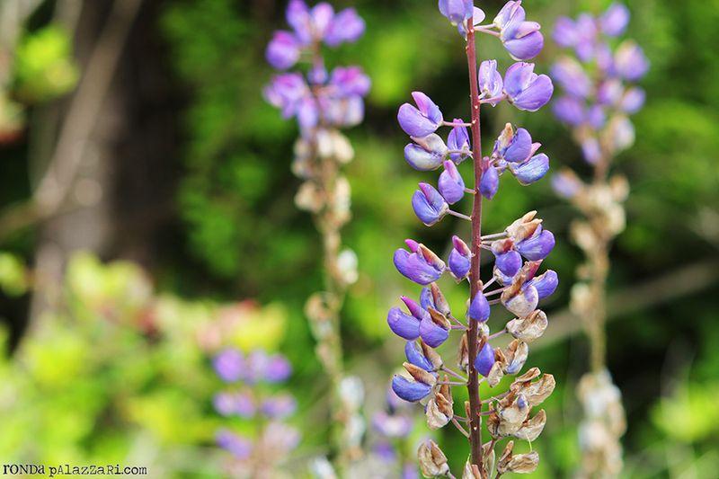 Ronda Palazzari Wildflower Purple Stem field