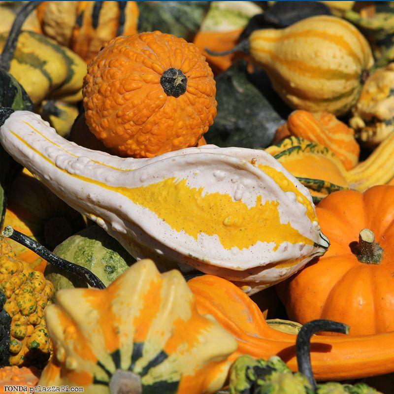 Ronda Palazzari Fall Pumpkin Gourds